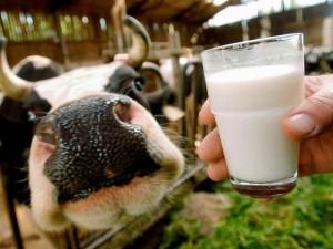 Как повысить жирность молока у коровы
